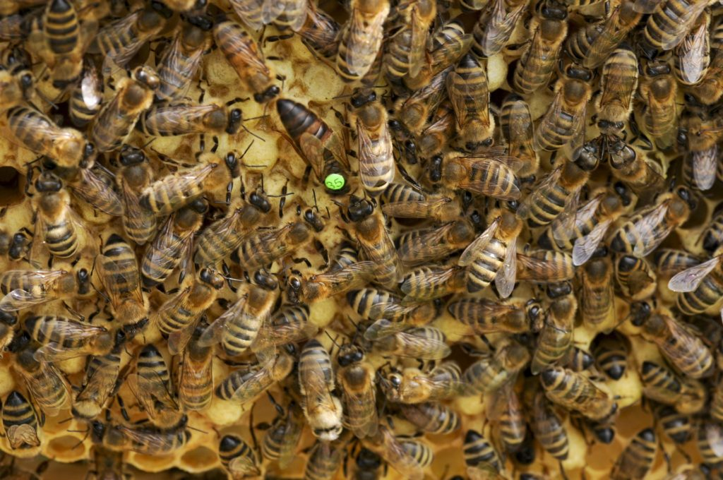 many bees 1 queen
